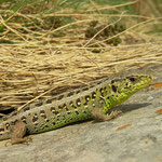 Sand lizard (Lacerta agilis bosnica)