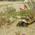 Spur-thighed Tortoise (Testudo graeca) juvenile