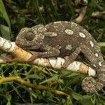Mediterranean Chameleon (Chamaeleo chamaeleon) dark individual.