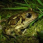 Spadefoot Toad (Pelobates fuscus)