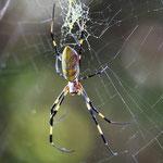 Golden Orb Spider (Nephila clavata)