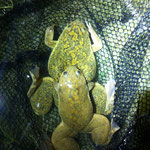African Clawed Toads (Xenopus laevis) in amplexus.