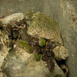 Many Tree Frogs (Hyla savignyi) and Green Toads (Bufo viridis) hiding