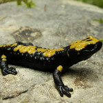 Alpine Salamander (Salamandra atra aurorae), Asiago, Italy, July 2010