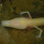 Olm (Proteus anguinus) with small eyes.