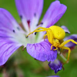 Goldenrod Spider (Misumena vatia) on Meadow Cranesbill (Geranium pratense).