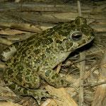 African Green Toad (Bufotes boulengeri siculus)