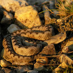 Nose-horned Viper (Vipera ammodytes) juvenile
