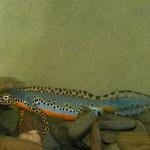 Alpine newt (Ichthyosaura alpestris veluchiensis)