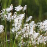Cottonsedge (Eriophorum angustifolium)