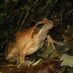 Grass Frog (Rana temporaria)