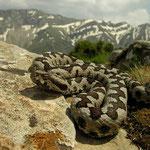 Landscape viper