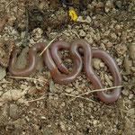 Worm Snake (Typhlops vermicularis)