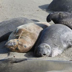 Northern Elephant Seals (Mirounga angustirostris)