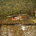 Japanese Freshwater Crabs (Geothelphusa dehaani)