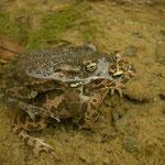 Green Toads (Bufo viridis) in amplexus