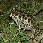 Eastern Spadefoot Toad (Pelobates syriacus), Vadu, Romania, October 2014