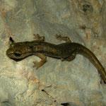 Zuid-Sardijnse grottensalamanders (Speleomantes genei type B)