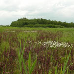 Graslandje met moeraskartelblad, veenpluis, moerasvaren, kleine ratelaar en zonnedauw.