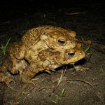 Common Toad (Bufo bufo) couple on their way to the breeding water.