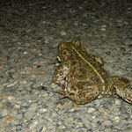 Natterjack Toad (Epidalea calamita) running on road, Heemskerk, the Netherlands, April 2012