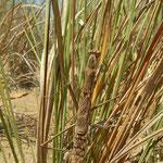 Bidsprinkhaan (Rivetina baetica) vrouwtje, goed gecamoufleerd tussen het gras.