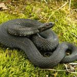 Adder (Vipera berus) dark individual #2