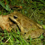 Grass Frog (Rana temporaria), Zuid-Limburg, the Netherlands, June 2012