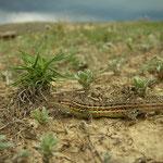 Spaanse zandloper (Psammodromus hispanicus) met op de achtergrond het naderende onweer