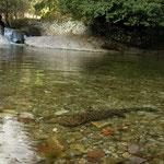 Japanese Giant Salamander (Andrias japonicus) in habitat.