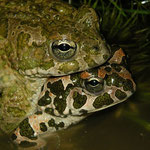 Groene padden (Bufo viridis) amplex