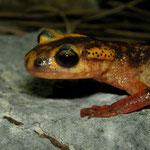 Antalyan Salamander (Lyciasalamandra antalyana)