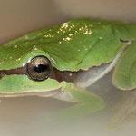 Boomkikker (Hyla orientalis)