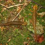Fire Salamanders (Salamandra salamandra alfredschmidti)