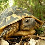 Griekse landschildpad (Testudo hermanni) vrouwtje