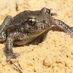 Midwife Toad (Alytes obstetricans) © Laura Tiemann