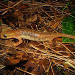 Arikan's Salamander (Lyciasalamandra arikani)