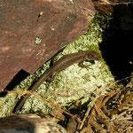 Batuecan Rock Lizard (Iberolacerta martinezricai)