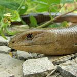 Scheltopusik (Ophisaurus apodus thracius)