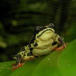 common harlequin toad (Atelopus spumarius)