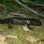 Northwestern Salamander (Ambystoma gracile)