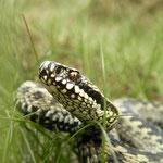 Adder (Vipera berus) mannetje
