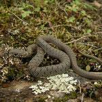 Caspian Whip Snake (Dolichophis caspius) juvenile