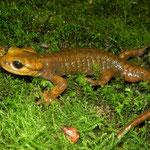 Fire Salamander (Salamandra salamandra alfredschmidti)