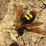 Een dolkwesp (Scolia flavifrons), overal hoorde je het imposante gebroem van deze vliegende gevaartes.