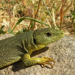 Balkan Green Lizard (Lacerta trilineata hansschweizeri)