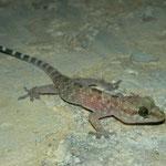 Turkse huisgekko (Hemidactylus turcicus)