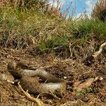 Gladde slang (Coronella austriaca) halfwas dier.