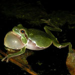 Italian Tree Frog (Hyla intermedia) calling male