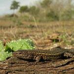 Zuidwest-Iberische muurhagedis (Podarcis carbonelli)